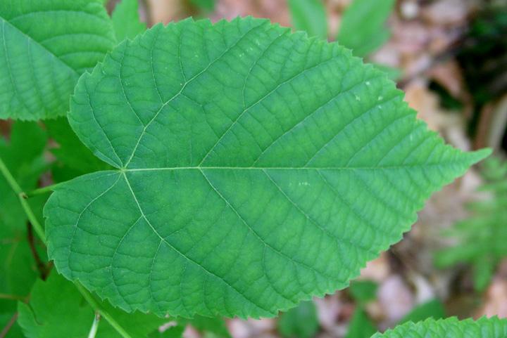 Linden Tree Leaf Identification